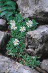 Dinarski rožac – cerastium dinaricum