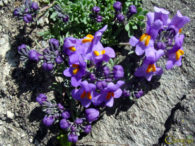 Planinski lanilist – linaria alpina