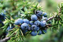 Klečica – juniperus sibirica