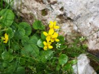 Dvocvjetna ljubičica – viola biflora