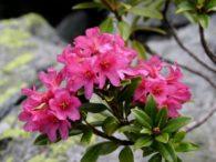 Alpska ruža – rosa pendulina