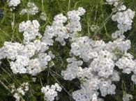 Siparska hajdučica – achillea abrotanoides