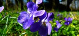 Ljupka ljubičica – viola elegantula
