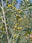 Bijeli pelin – artemisia absinthium