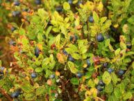 Borovnica – vaccinium myrtillus