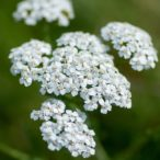 Hajdučka trava – achillea millefolium